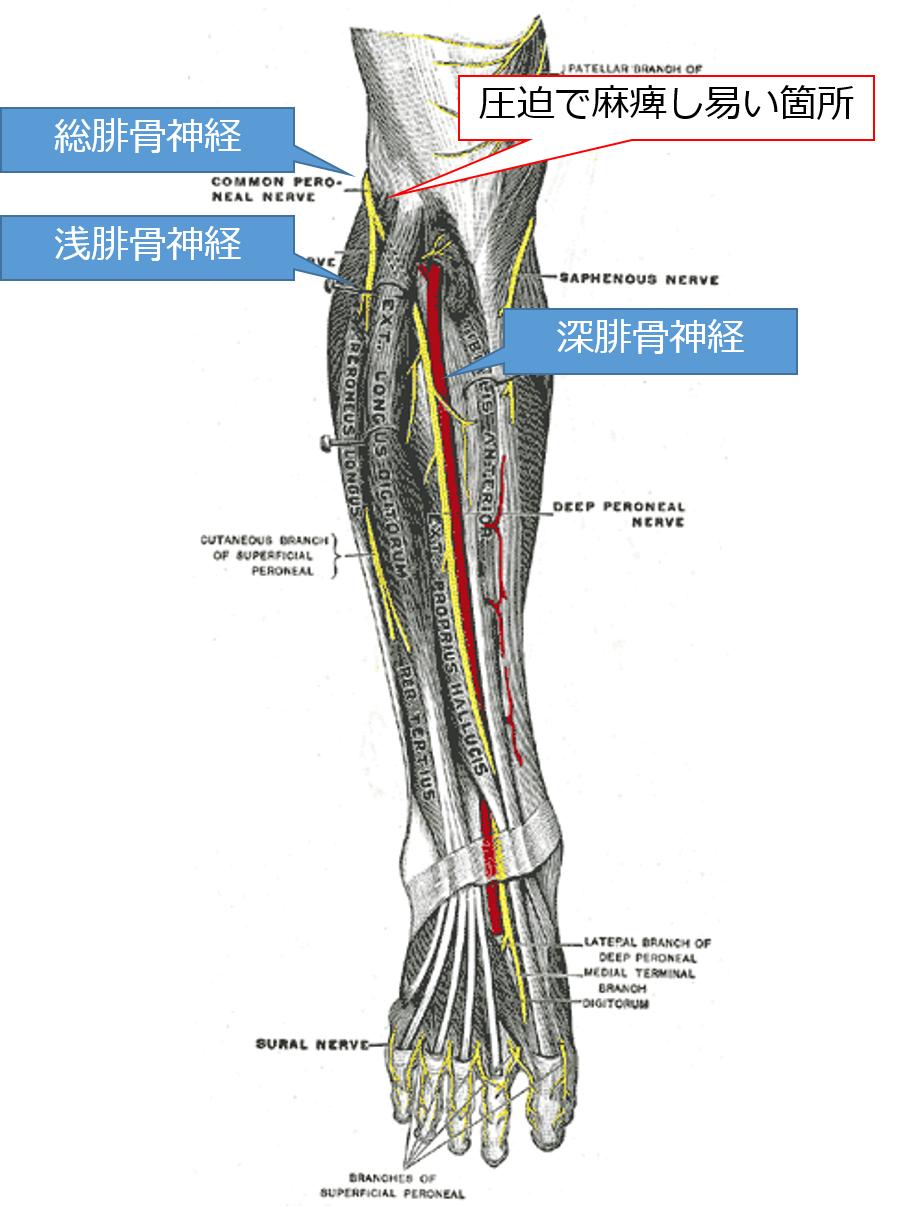 総腓骨神経