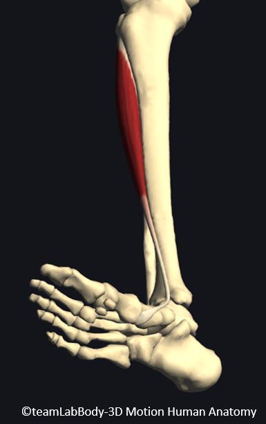 前脛骨筋の停止