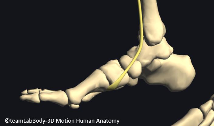 前脛骨筋腱