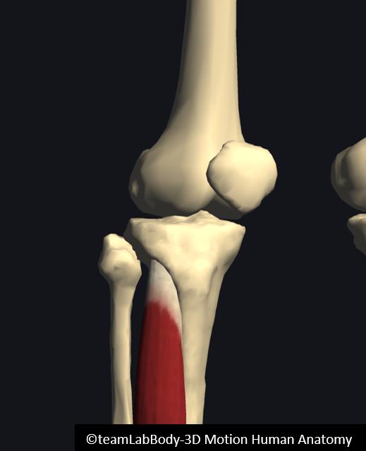 前脛骨筋筋腹
