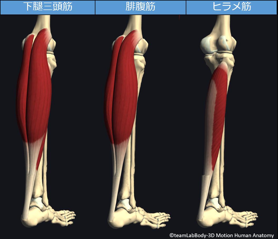 下腿三頭筋、腓腹筋、ヒラメ筋